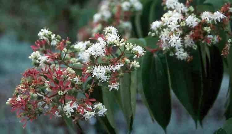 Heptacodium miconiodes flower