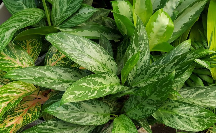 Aglaonema: Chinese Evergreen