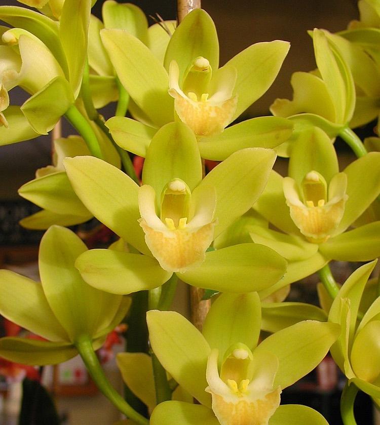 cymbidium-orchid discolor