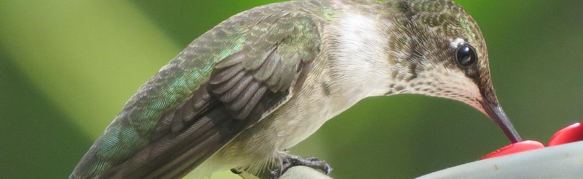 Natives to attract Hummingbirds