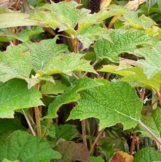 <em>Hydrangea quercifolia</em>