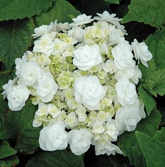 Hydrangea 'Wedding Gown'