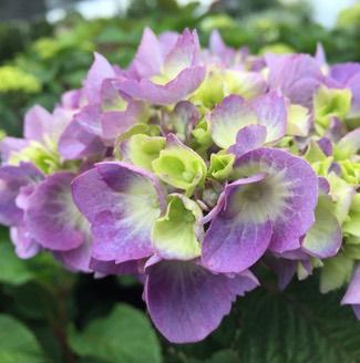 Hydrangea 'Bloomstruck'