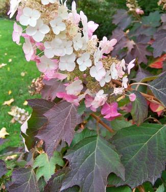 quercifolia-oakleaf