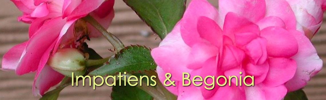 Impatiens & Begonia