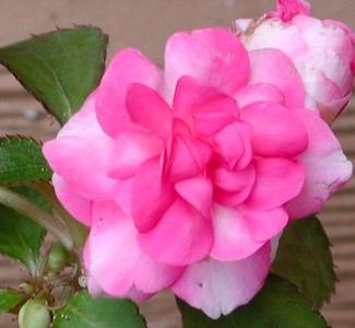 Impatiens 'Rosebud'