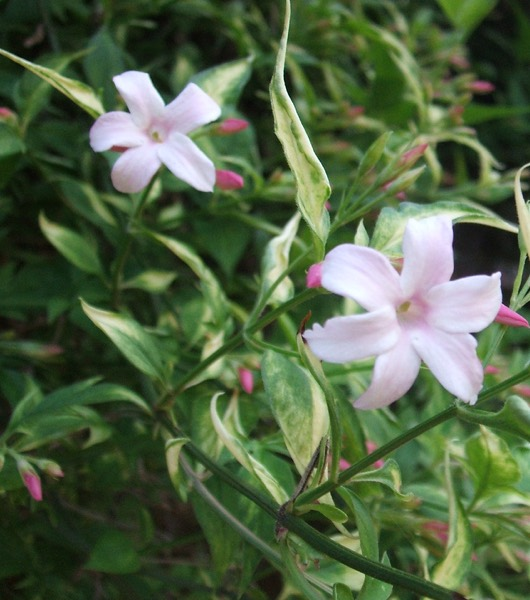 1 X JASMINUM OFFICINALE FIONA SUNRISE JASMINE DECIDUOUS SHRUB HARDY PLANT IN POT