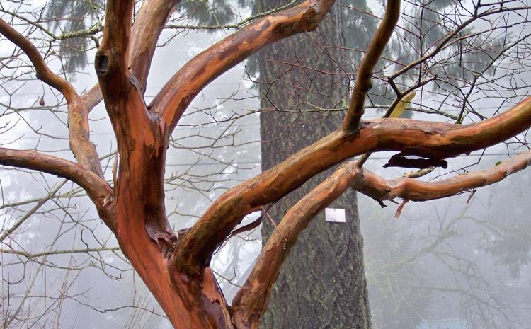 lagerstroemia-bark