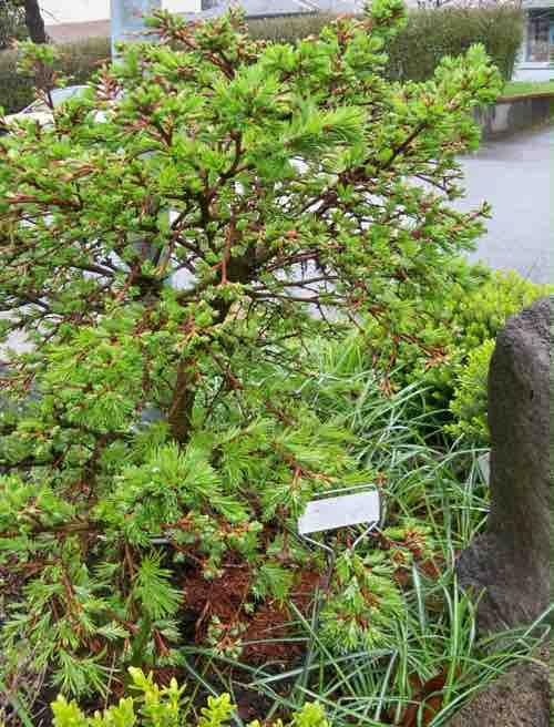 Larix gmelini  'Romberg Park'
