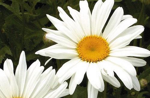 Looking For Alaska Daisy: Leucanthemum: Shasta Daisy