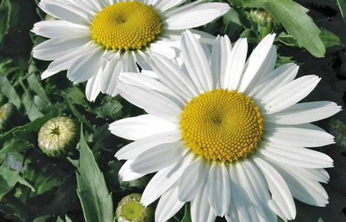 Leucanthemum shasta daisy portland nursery leucanthemum snowcap mightylinksfo Images