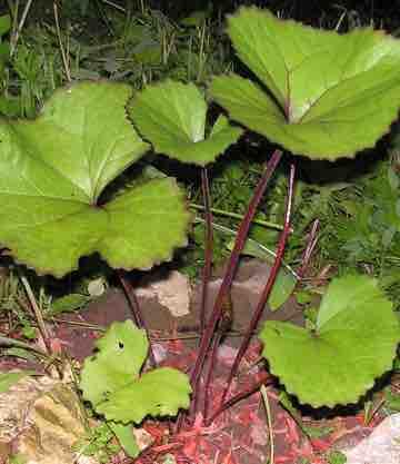 Ligularia dentata 'Desdemona'
