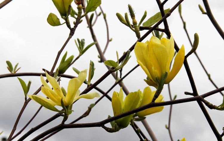 Magnolia Trees Portland Nursery