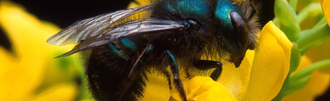 orchard mason bees portland nursery