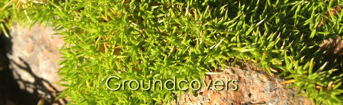 Groundcovers