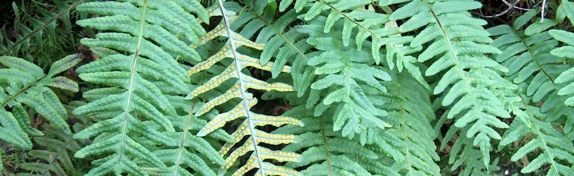 Native Ferns Portland Nursery