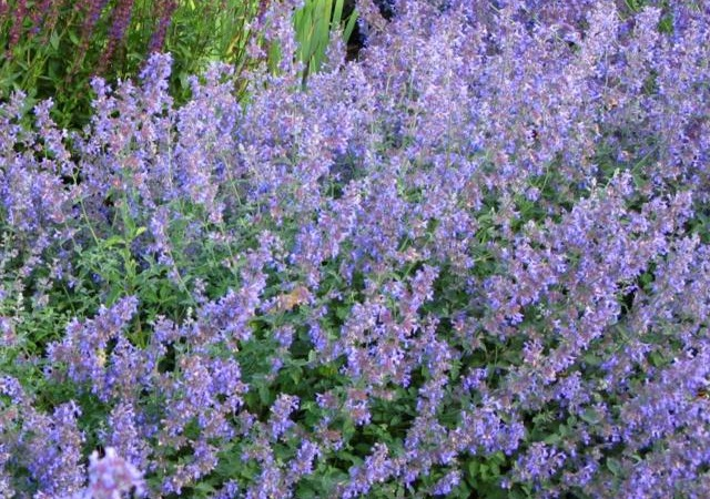Top perennials for sun portland nursery nepeta six hills giant catmint mightylinksfo
