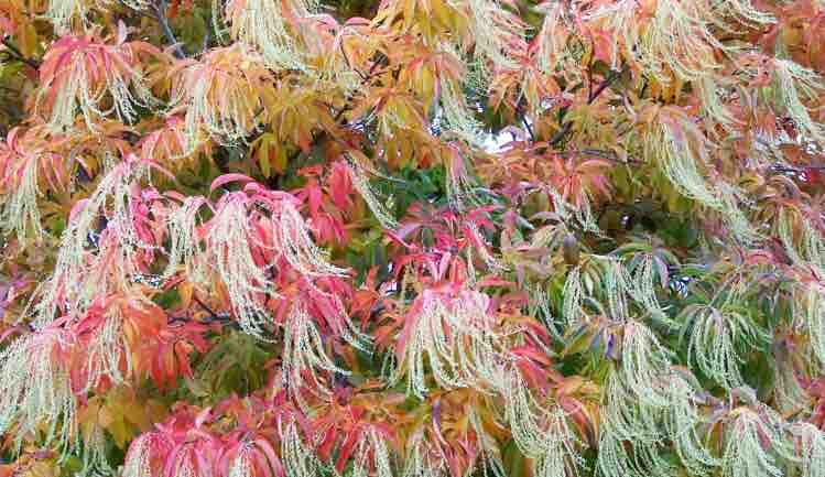 oxydendrum arboreum  Fall color