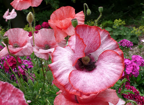 Papaver-rhoeas-Mother-of-Pearl500