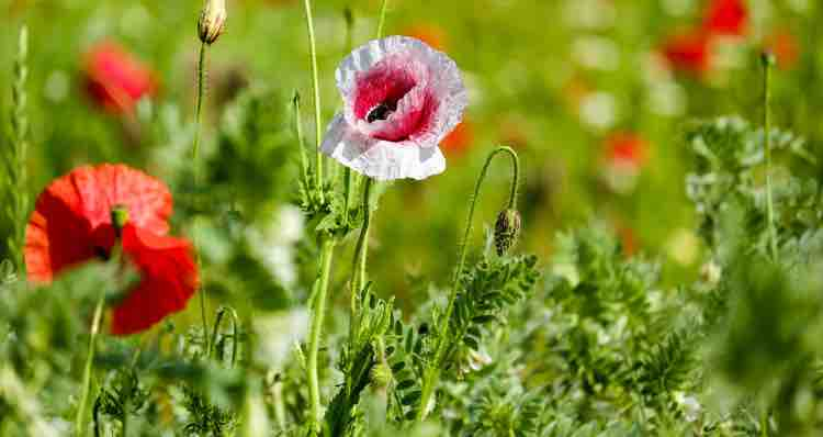 Papaver poppy portland nursery to your sunniest spots with a variety of bloom times and colors throughout the year mightylinksfo