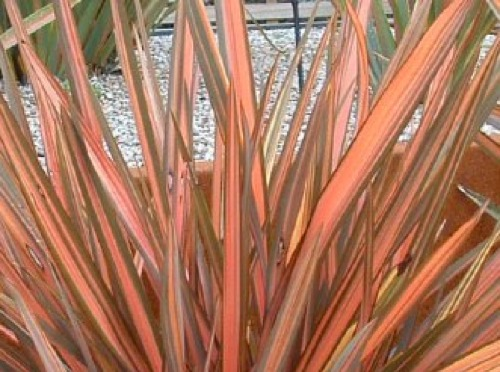 Phormium new zealand flax portland nursery for Spiky ornamental grass
