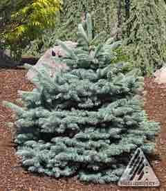 Picea pungens 'RH Montgomery'