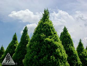 Picea gluca 'Conica'
