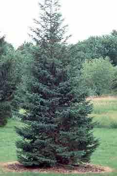 Picea glaucens 'Densata'