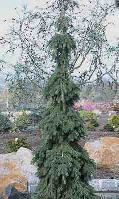 Picea Glauca Pendula Weeping White Spruce