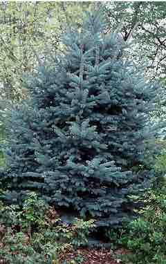 Picea glaucens 'Fat Albert'
