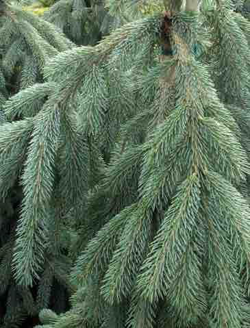 Picea glauca</em> 'Pendula'