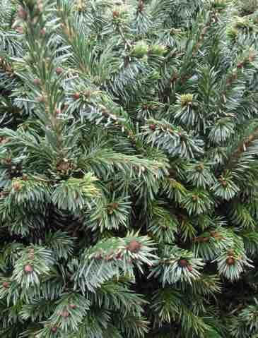 Picea ormoriko 'Pimoko'