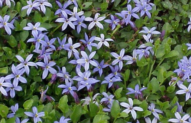 Pratia star creeper portland nursery pratia peduculata county park dark blue star creeper mightylinksfo