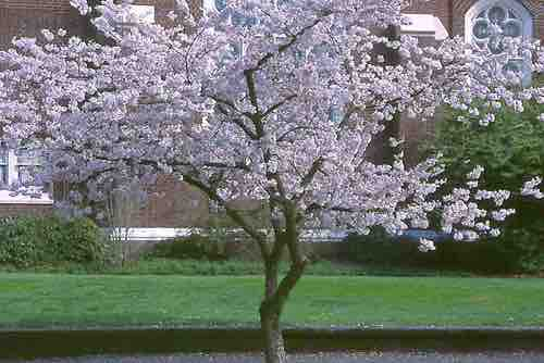 Prunus Yoshino Cherry