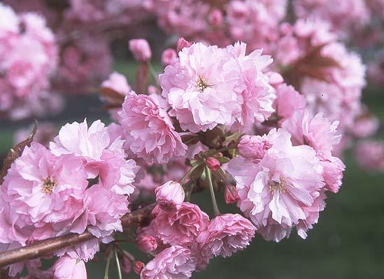 Prunus flowering cherry plum apricot portland nursery prunus serrulata kwanzan mightylinksfo