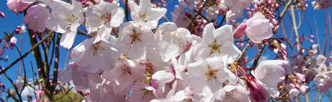 Prunus Flowering Cherry Plum Apricot Portland Nursery