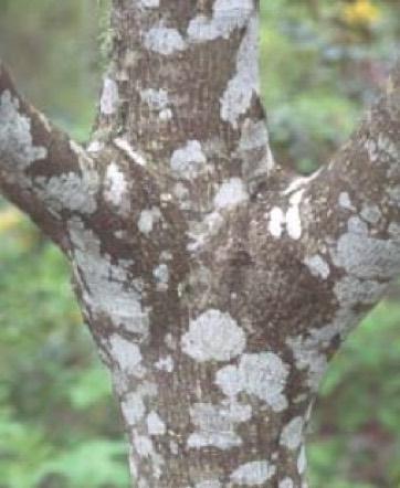 Rhamnus Purshiana Cascara Portland Nursery