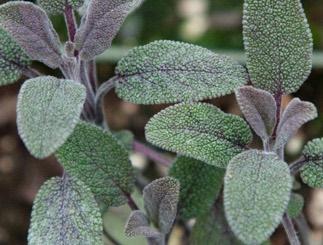 Sage Purpurea
