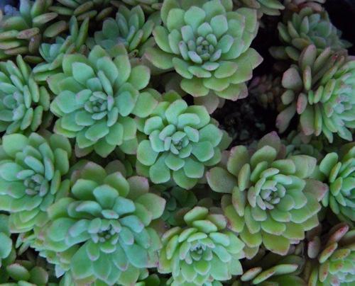 glaucophyllum