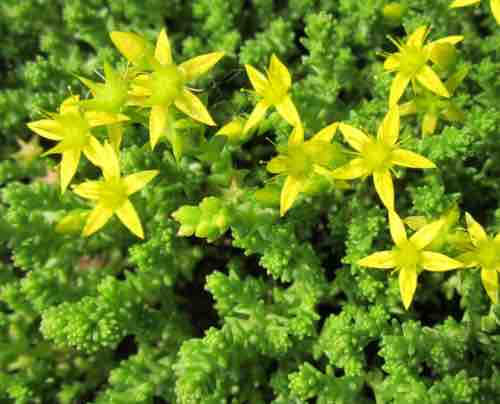 Evergreen sedum stonecrop portland nursery sedum acre mightylinksfo