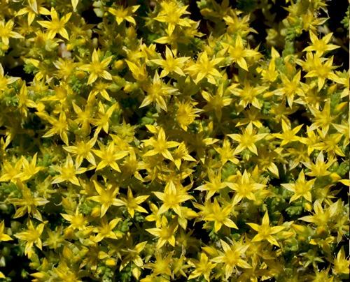 Evergreen sedum stonecrop portland nursery sedum stenopetalum mightylinksfo