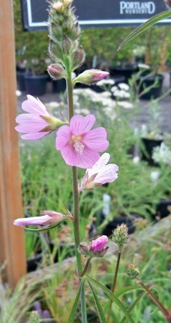 Sidalcea Checker Mallow Portland Nursery