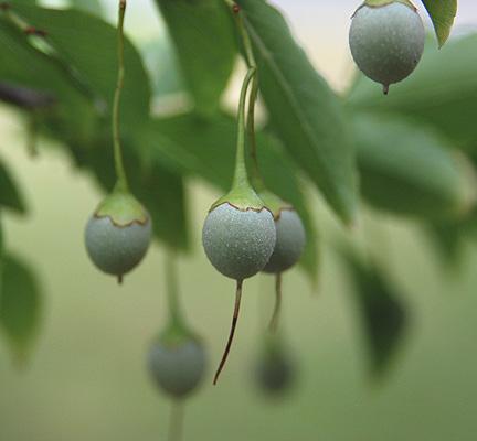 Styrax fruit