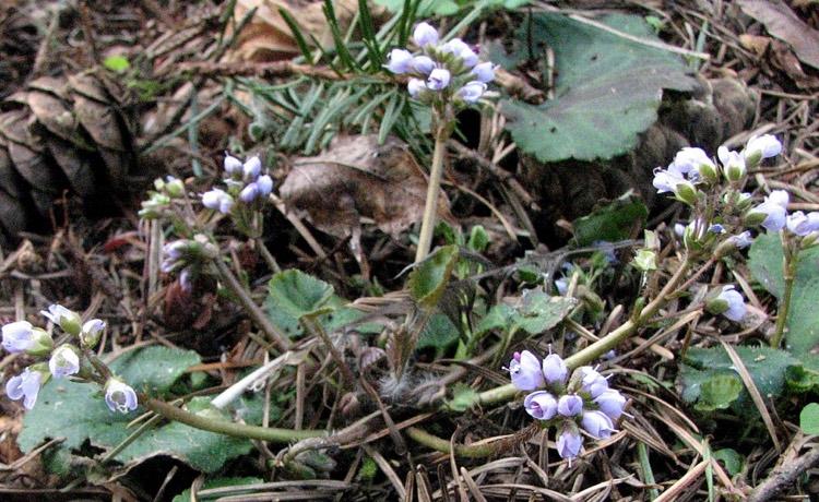 synthyris reniformis - Spring Queen, Snow Queen