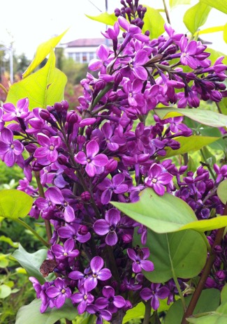 syringa lilac portland nursery