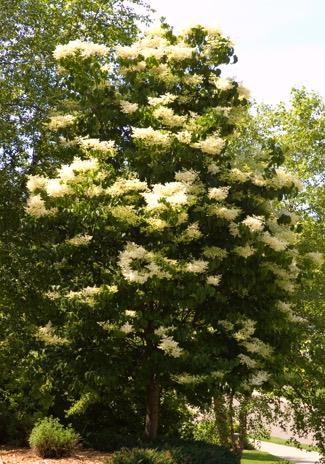 Syringa lilac portland nursery syringa reticulata japanese tree lilac publicscrutiny Images