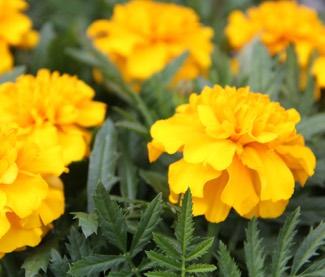 marigold 'bonanza'