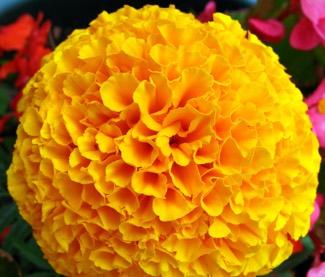 marigold 'inca'