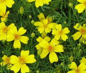 Tagetes tenuifolia yellow