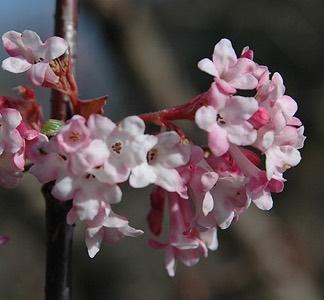 Viburnum arrowwood portland nursery viburnum bodnantense dawn viburnum pink scented flowers mightylinksfo